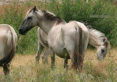Sorraia Horse (not feral) - The Sorraia is one of the few types of original wild horses and they are most likely related to the now extinct Tarpan, as they tend to resemble each other in physical appearance.