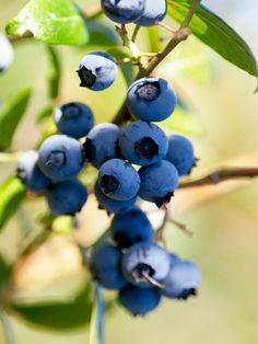Growing blueberries in pots - blueberries are regarded as superfoods
