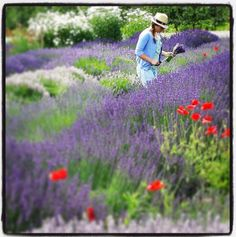 """""""Those that bring sunshine in the lives of others cannot keep it from themselves! J.M.Barriel #lavender #hoodriverlavender #quote #flowers #organic #aromatherapy #farm #garden #outdoors"""