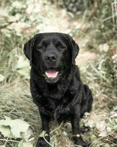 If You Love Labradors Visit Our Blog Labrador Labradorretriever Labradorcentral Retriever Labradors Retrievers Afflink Lab Dogs Labrador Black Labrador