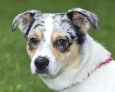 Keith  Australian Shepherd Mix - Male 1 Year 7 Months Active, relaxed, good with dogs Little Traverse Bay Humane Society