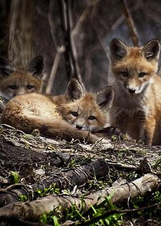 Three Kit Foxes by Thomas Young