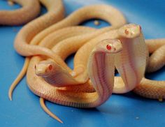 albino cobras not going to lie snakes aren't my favorite animals but these are pretty cool!
