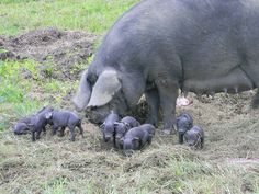 Large Black--look how big mama is next to those tiny piglets!