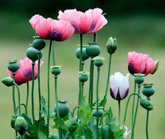Valmuer | Sådan dyrker du valmuerplanter i din have | idényt Poppy Images, Flower Images, Wild Flowers, Beautiful Flowers, Poppy Flowers, Colorful Flowers, Poppy Photo, Flower Garden Plans, Blue Poppy