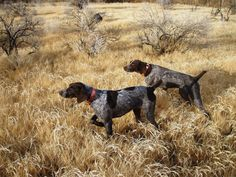 GSP [German Shorthaired Pointer] Awesome very active dog, highly intelligent.