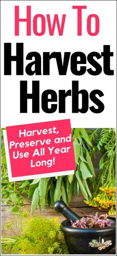 Learn to harvest herbs from your garden, herbs from containers and wild herbs that your forage with these simple steps l Harvest herbs year round! Herb Garden Design, Diy Herb Garden, Herbs Garden, Organic Herbs, Organic Gardening, Gardening Tips, Texas Gardening, Flower Gardening, Potted Herbs