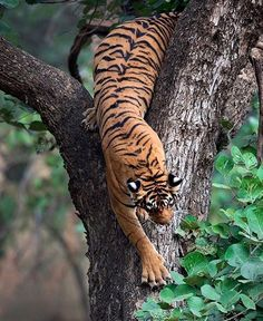 Photo by A rather rare but the spectacular sight of a tiger climbing down a tree in the Ranthambore National Park. Beautiful Cats, Animals Beautiful, Big Cats, Cats And Kittens, Tiger Pictures, Gato Grande, Cat Reference, Pet Tiger, Rare Animals