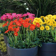 Gerbera 'Sweet Collection' (Hardy) - Perennial & Biennial Plants - Thompson & Morgan
