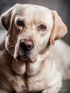 Beige Labrador, real love!