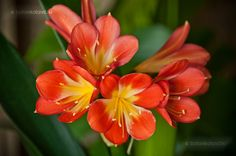 Klívia (Clivia Miniata) gondozása, szaporítása (Narancsliliom) Flowers, Plants, Rose, Bulb