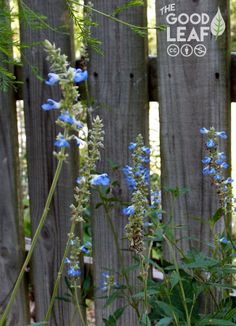 Bog sage (Salvia uligonosa) makes the most vivid, electric blue flowers of any sage I've ever seen.  We found it to be a little aggressive in full sun, so we moved it to a shade bed, where its growth has been more moderate. If you have a contained space, though, do plant it in full sun to enjoy its untrammeled blueness.