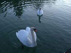 Schwäne Swan, Bird, Animals, Swans, Animales, Animaux, Birds, Animal, Animais