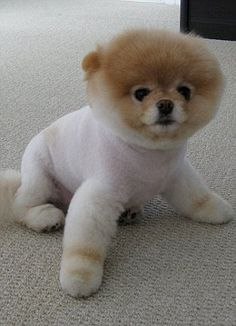 "Boo Boo ""the worlds cutest dog."" My Hubby (a dog groomer) is trying to recreate the look on a local pom"