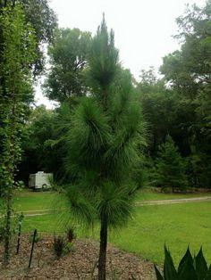 Pinus elliotii, Pinaceae. Shorter needles than palustris