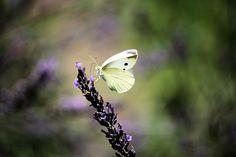 nature | butterflies - lavender & butterfly