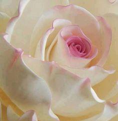 Rose Garden Rose blanche et rose Amazing Flowers, Beautiful Roses, My Flower, Beautiful Flowers, Exotic Flowers, Ikebana, White Roses, Pink Roses, Lavender Roses