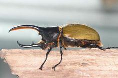 El Escarabajo Hércules (Dynastes hercules) Es considerado el animal más fuerte de la Tierra…Sí aunque estés con cara de incrédulo, de hecho de ahí es donde viene su nombre. Este pequeño insecto es una especie de escarabajo rinoceronte, que habita en América del Sur, puede llegar a medir unos 15cm de largo contando desde sus cuernos. Ahora lo que lo vuelve tan interesante es que puede aguantar hasta 850 veces su peso en su caparazón. Estos escarabajos sólo comen vegetales y no son agresivos,