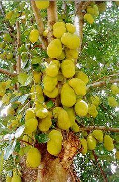 Esta fruta se adapta muito bem ao clima do Brasil, por isso não perca mais tempo e aprenda a planta! #jaca #plantar #horta #jardim
