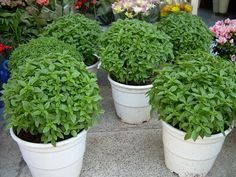 Why Are We Getting Cancer? - basil in flower pots - Herbal Remedies, Natural Remedies, Growing Raspberries, Square Foot Gardening, Living A Healthy Life, Garden Projects, Garden Ideas, Backyard Projects, Backyard Ideas
