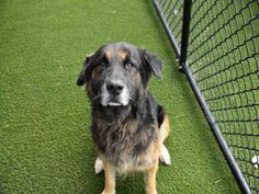 PetHarbor.com: Max ID#1263747. Male German Shepherd mix. Senior 7yrs. old. Arrived at Miami Dade Animal Shelter 03/05/17