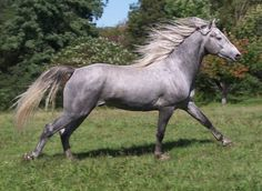 Grey Morgan Horse on the move. Most Beautiful Animals, Beautiful Horses, Beautiful Creatures, Morgan Horse, Majestic Horse, Horse Love, Gray Horse, Silver Horse, All The Pretty Horses