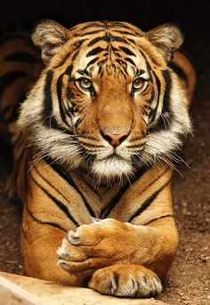 Tigers get a new stripe every time they kill prey. (photo by Mike Wilson) //  #San Diego Zoo ‏  #AnimalFact