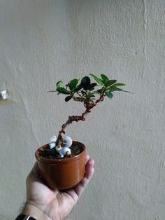 Ficus green island. Meu xodó