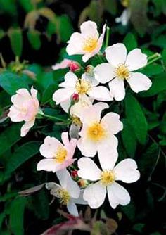 Kathleen -- hybrid musk with single flowers resembling apple blossoms, repeat bloomer, makes nice hips