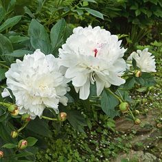 Large, pure white, fragrant blooms with occasional flecks of crimson at the base of the center petals have made this variety a great Peony for generations and our largest seller for many years. It's also the best double for southern gardens. Winner of the Royal Horticultural Society's Award of Garden Merit.