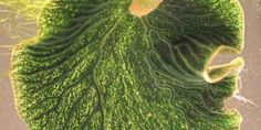 Una super lumaca ad energia solare Elysia chlorotica è una specie di mollusco del sottordine dei sacoglossi, nota come la lumaca di mare a energia solare, infatti incorpora nelle proprie cellule i cloroplasti delle alghe di cui si nut
