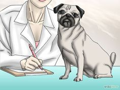 How to Live with a Pug Dog: 20 Steps (with Pictures) - wikiHow