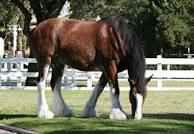 FAMOUS CLYDSDALES