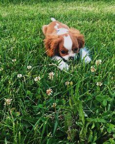 Camouflage . . . . . . . . . . . . #cavalierkingcharlesspaniel #kavalir #kavalirkingcharlesspanel #cavalier #cavalierkingcharles #dog…