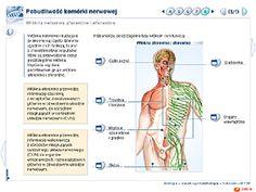 Aferentne i eferentne włókna nerwowe