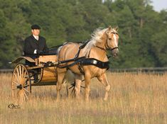 Palomino horse and carriage... I'm pretty sure that open bridle is also bitless! Awesome!<< Bitless bridles are the best it redirects where the force of your hands, which it should not be, to the nose and hold head not the mouth.