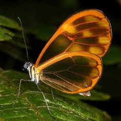 Rare Butterflies with Clear Wings - Bing Images
