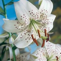 Tiger Lily Bulbs White from American Meadows, your trusted source for Lily Flower Bulbs. We offer gardeners guaranteed Tiger Lily Bulbs White and all the information and confidence needed to succeed.