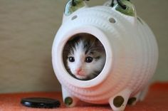 Cat in a piggy - haha! Makes me think how this cat got inside that piggy bank...