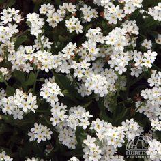 Myosotis sylvatica 'Snowsylva'