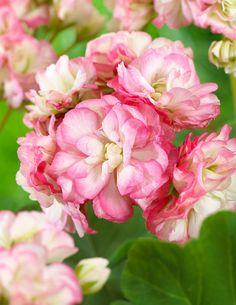 Ruusunnuppupelargoni Apple Blossom - Viherpeukalot