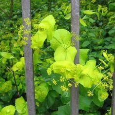 Smyrnium perfoliatum - Lundgylden, farve: limegrøn, lysforhold: let skygge, højde: 50-150 cm, blomstring: maj --juni, tæppedannende skovbundsplante, 2-årig plante, men frøformere sig flittigt, koldsås.