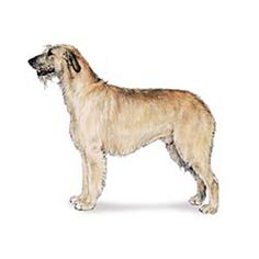 Irish Wolfhound personality: Calm, dignified, kindly; courageous but not aggressive.  Click to learn more about lifestyle, grooming, etc. #WOOFipedia #WOOF