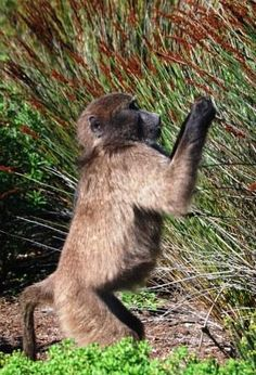 Pringle Bay has its own Chacma Baboons. Baboon, Kangaroo, South Africa, Birth, African, Jewels, Animals, Life, Baby Bjorn