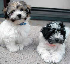 Havanese puppies pictures - Google Search