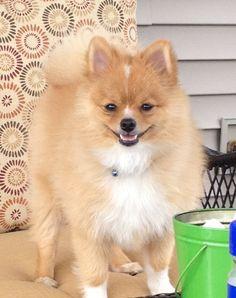Pomeranian.