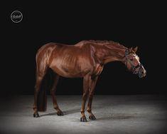 Pferdefoto von Tierlicht www.tierlicht.com Horse Photography, More Pictures, Horses, Animals, Photo Studio, Animales, Pictures, Animaux, Equine Photography