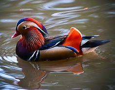Mandarin Duck Photos (2)