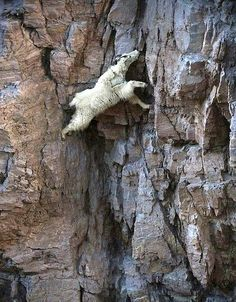 (climbing) Mountain goats subside primarily on plants, but also like to lick salt, and some of the accompanying images show to what extreme vertical heights these amazing beasts will reach in order to obtain their fix.