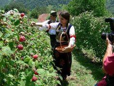 Raspberry harvest, Ivanjica